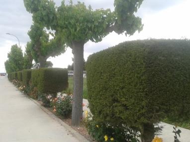 Carrer de Barret Picat, con rosales de múltiples colores.