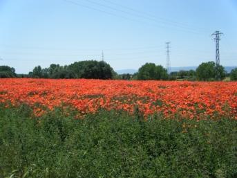 Campo de amapolas, Badabadocs, Rosselles,...
