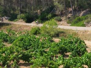 Ascensión al Garraf, siempre con campos de viñedos presentes.