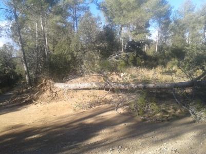 Árbol caido en pista entre Sentmenat y Castellar... muy reciente...