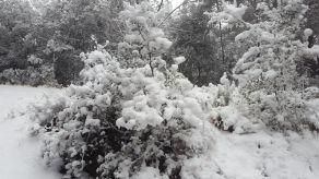 Pinos y encinas nevadas